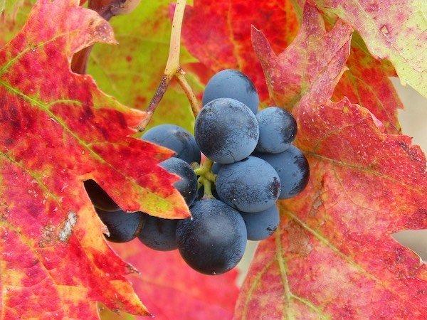 grappolo_uva_foglie-rosse