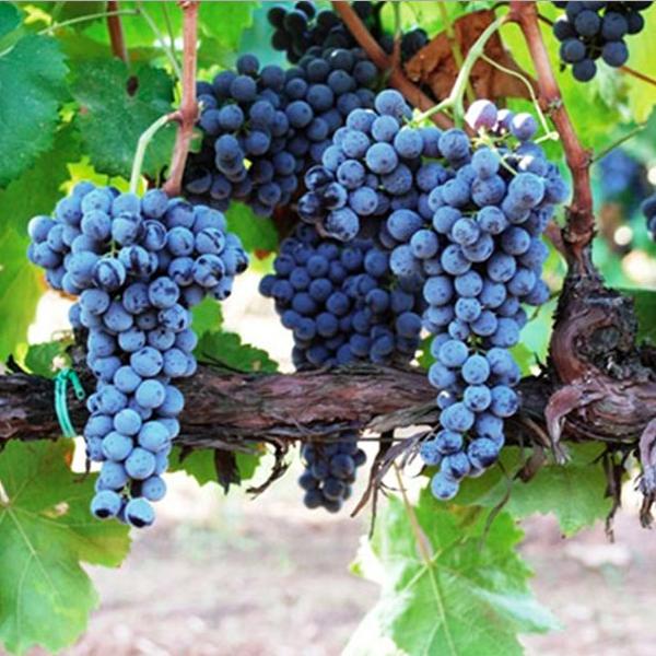 Frappato_vitigno